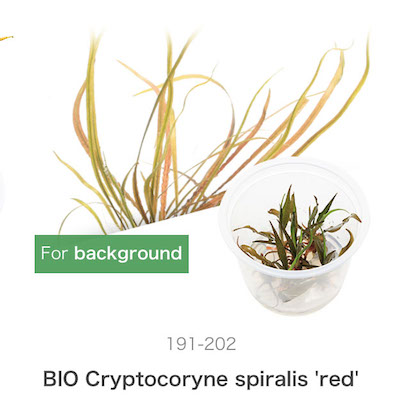 ADA Crypocoryne spiralis 'red'